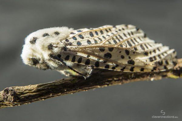 A leopard moth (Zeuzera pyrina) on a thin stick.