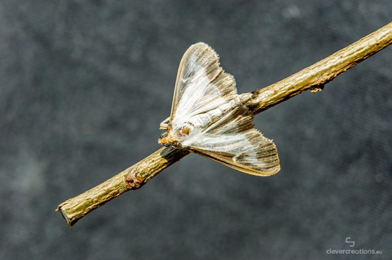 Top view of a box tree moth (Cydalima perspectalis) on a branch with grey out of focus background.