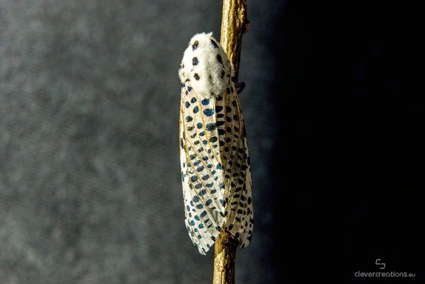 Top view of a wood leopard moth (Zeuzera pyrina) on a wooden stick, with black and grey background.