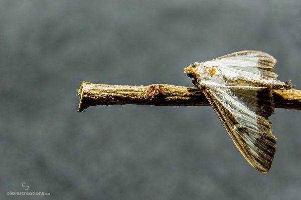 A macro close-up of a box tree moth (Cydalima perspectalis) on a stick.