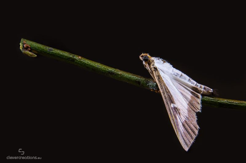 A macro photo of a box tree moth (Cydalima perspectalis) on a wooden branch.