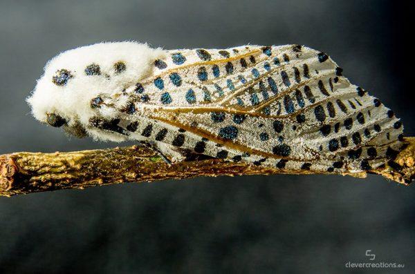 A macro photo of a leopard moth (Zeuzera pyrina) on a thin wooden branch.