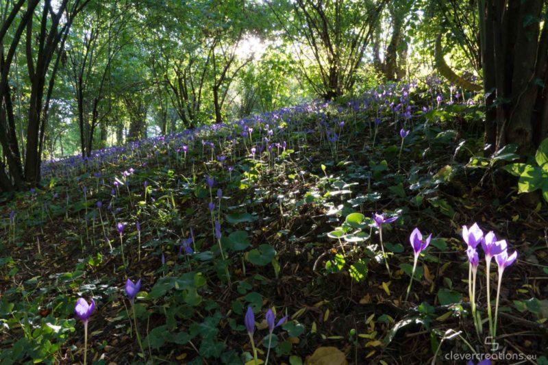 A field with purple crocus flowers.
